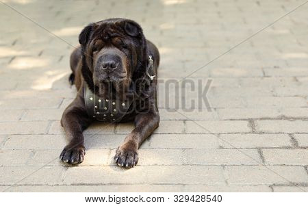 Cute Black Shar-pei Dog Lying On Pavement Outdoors. Space For Text
