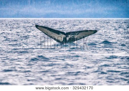 Whale tail on whale watching cruise excursion tour activity in Alaska. Humpback whale diving in sea. Closeup wildlife photography.