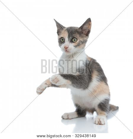 Clumsy domestic cat begging while standing on white studio background