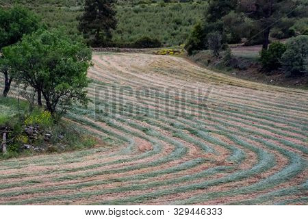 Hay Cut In The Field Lies In Rows And Dries. Livestock Feed Hay