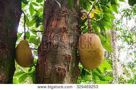 Graviola Exotic Fruit Growing On A Tree In A Tropical Jungle.