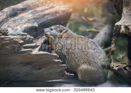 Rock Hyrax Sitting On The Floor / Provavia Capensis