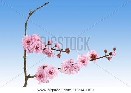 Pink cherry blossom on a sky blue background