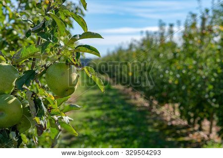 Bright Sunny Apple Granny Smith Orchard Rows Of Apple Trees On Blue Sky Background. Ripe Green Fruit