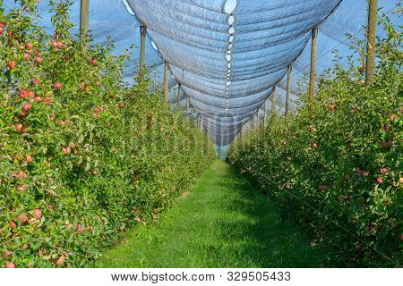 An Apple Orchard Covered An Against Hail And Birds. Modern Apple Plantation On Blue Sky Background I