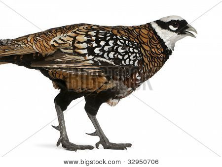 Male Reeves's Pheasant, Syrmaticus reevesii, can grow up to 210 cm long, in front of white background