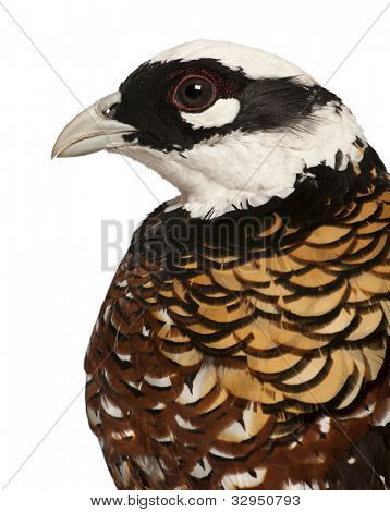 Close up of Male Reeves's Pheasant, Syrmaticus reevesii, profile, in front of white background
