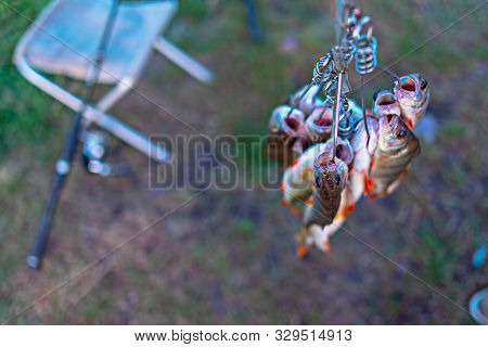 Caught Perch On A Fish Stringer Face Down On A Grass Background On A Fishing Rod Spinning Field With