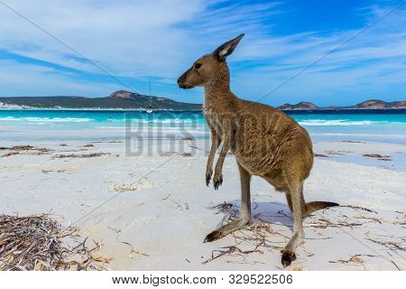 Beautiful Kangaroo Near A Backpack At Lucky Bay Beach In The Cape Le Grand National Park Near Espera