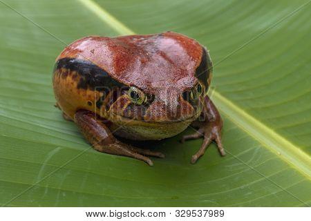 Tomatofrog, One Of The Bigger Amphibians In Madagascar
