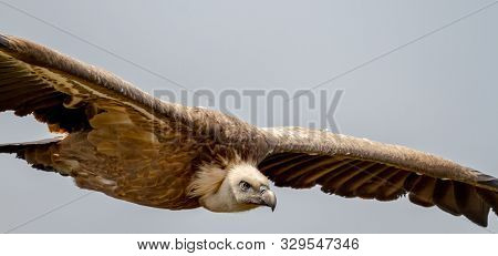 Griffon Vulture, (gyps Fulvus) In Flight Over A Las Hoces Del Rio Duraton In Sepulveda, Segovia, Spa
