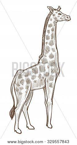 African Animal, Giraffe Isolated Sketch, Tallest Wild Mammal