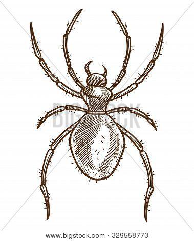 Arachnid Or Spider Isolated Sketch, Tarantula Or Black Widow