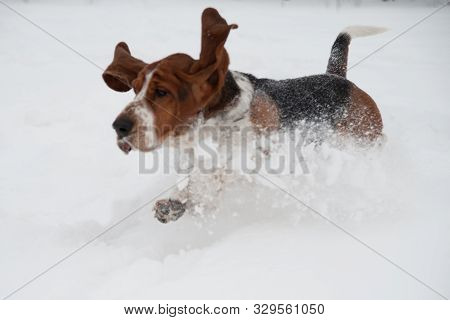 Funny Young Basset Hound Runs And Plays In Deep Snow, Basset Hound In A Winter Park