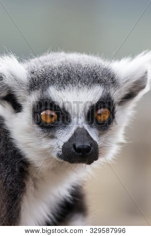 Cross-eyed Face. Funny Animal Meme Image Of Lemur Looking Cross-eyed. Ring-tailed Lemur (lemur Catta