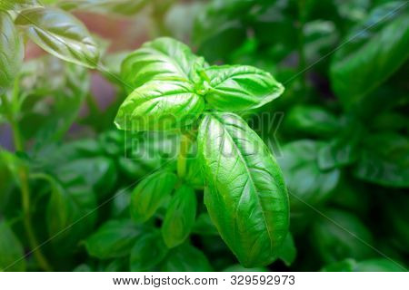 Close Up Green Basil Leaf Plant Growing In The Vegetable Garden Plantation Sweet Shrubby Basil Herb.