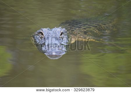 Close Up Look Directly Into The Face Of A Swamp Gator.