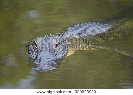 A Direct Look Into The Face Of A Stalking Gator.