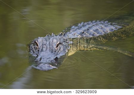 Looking Down The Snout Of A Predatory Alligator In The Swamp.