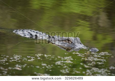 A Reflection Of A Predatory Alligator In Green Swamp Waters.