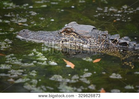 Debris In A Swamp With The Profile Of An Alligator.