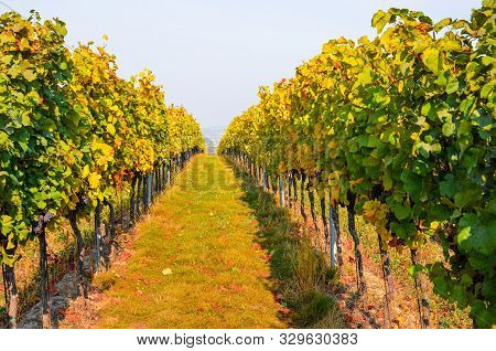 Colorful Autumn Vineyard With Ripe Grapes Of Pinot Gris. Fall Vineyards In Yellow And Orange Color L