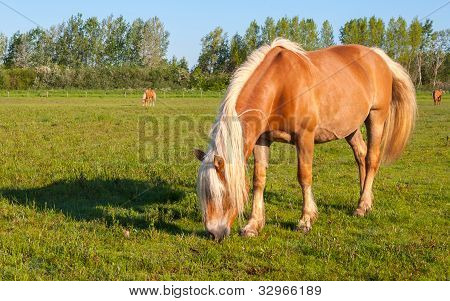 Grazing Mare With Long Blonde Manes