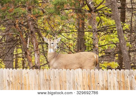 A Young White Tail Buck Looking Over A Wood Fence.