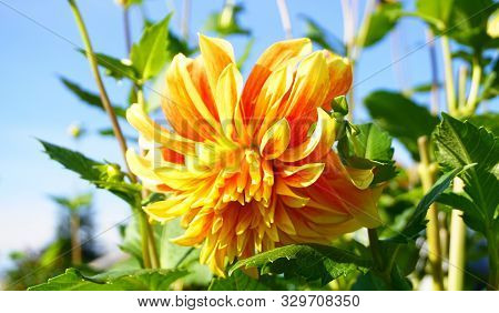 Showy And Bright Colorful Dahlia Flower In The Morning Sun Close Up.