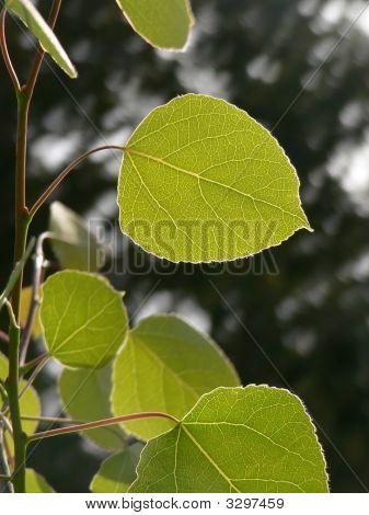 Green Aspen Leaves