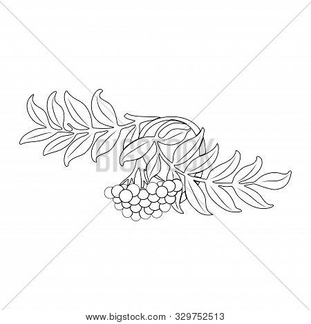 Rowanberry. Rowan Branch With Leaves And Berries. Autumn Design. Vector.