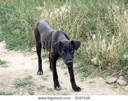 Black Semiwild Dog