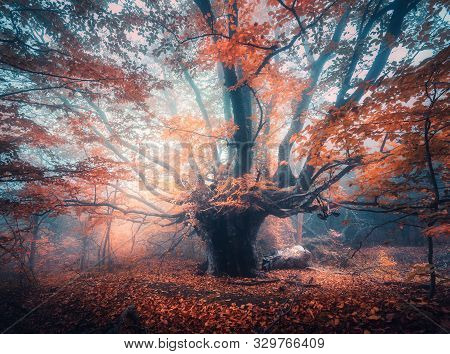 Old Magical Tree With Big Branches And Orange Leaves In Blue Fog In Sunrise. Autumn Colors. Enchante