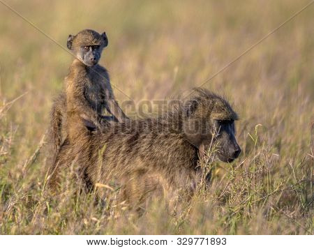 Chacma Baboon (papio Ursinus) Mother With Young Child Riding On Back In Kruger National Park South A