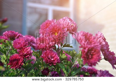 Flowers, Chrysanthemum Flowers, Wallpaper Chrysanthemums, Chrysanthemums In Autumn, Annual Chrysanth