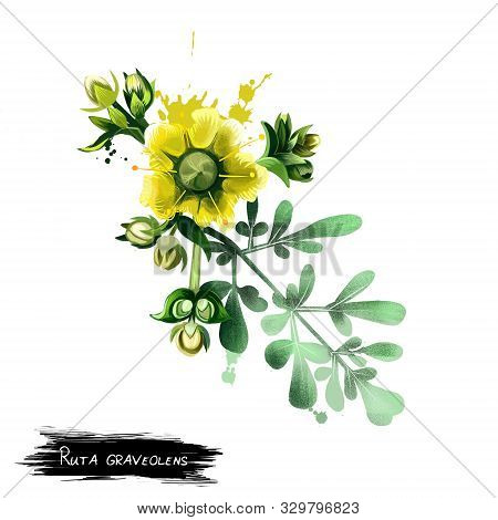 Common Rue Ruta Graveolens Flowering Plant Isolated On White. Herb-of-grace, Species Of Ruta Grown A