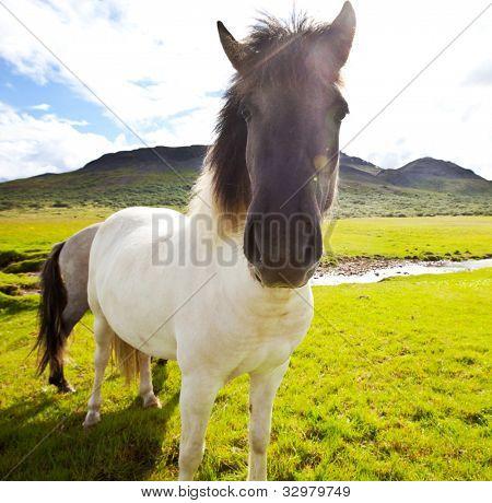 horse on Faeroe islands