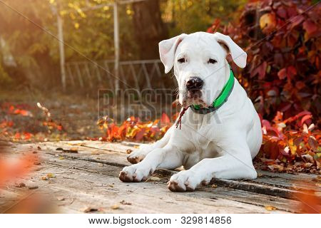 Dogo Argentino Lies And Looking At The Camera In Autumn Park Near Red Leaves. Canine Background