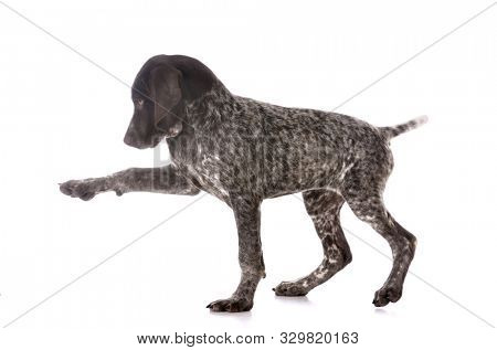 cute German shorthair pointer puppy playing isolated on white background