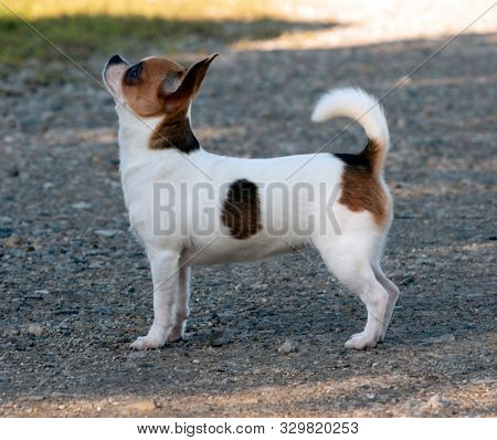 female chihuahua standing looking up outside in the front yard