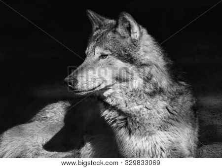 Portrait Of A Lying Steppe Wolf, Close-up, On An Isolated Black Background