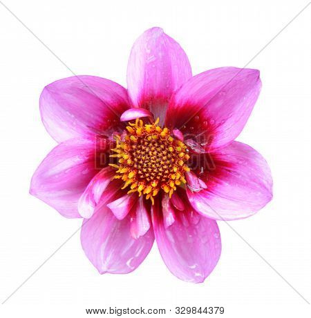 A Top View Of Dahlia Flower Isolated On White