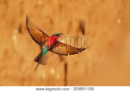 Beautiful Red Bird - Southern Carmine Bee-eater - Merops Nubicus Nubicoides Flying And Sitting On Th