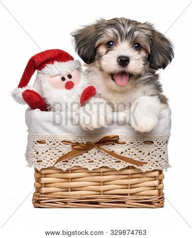 Happy Bichon Havanese Puppy Dog In A Basket With A Little Santa Claus Plush Toy - Isolated On White