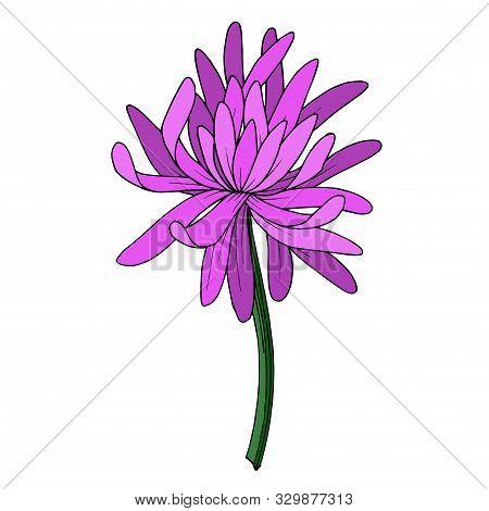Vector Chrysanthemum Botanical Flower. Black And White Engraved Ink Art. Isolated Chrysanthemum Illu