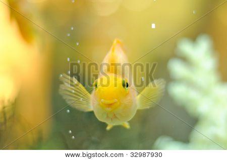 Happy Gold Parrot Fish In Aquarium
