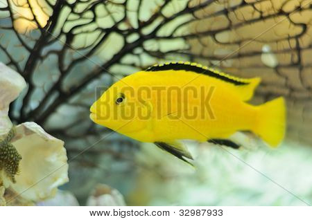 Electric yellow cichlid fish swimming in an aquarium poster