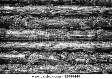 Monochrome Wall Of Wood Logs Chinked With Moss