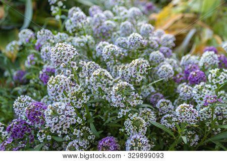 Alyssum, Or Lobularia Maritimum Marine. Garden Plant. Park. Floral Background. Purple Flowers. Close