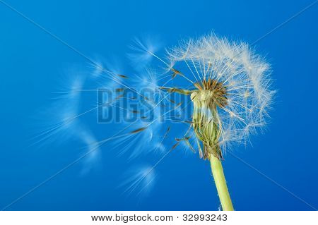 Dandelion With Moving Seeds On A Blue Background
